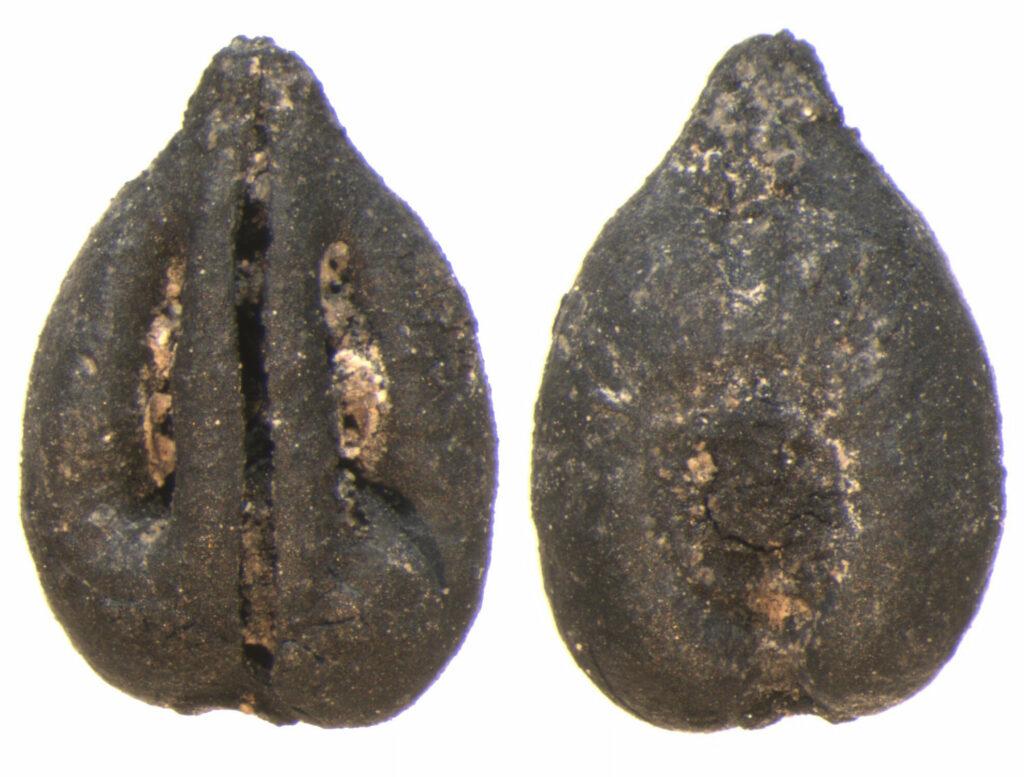 Überreste des Obstanbau. Obstsamen