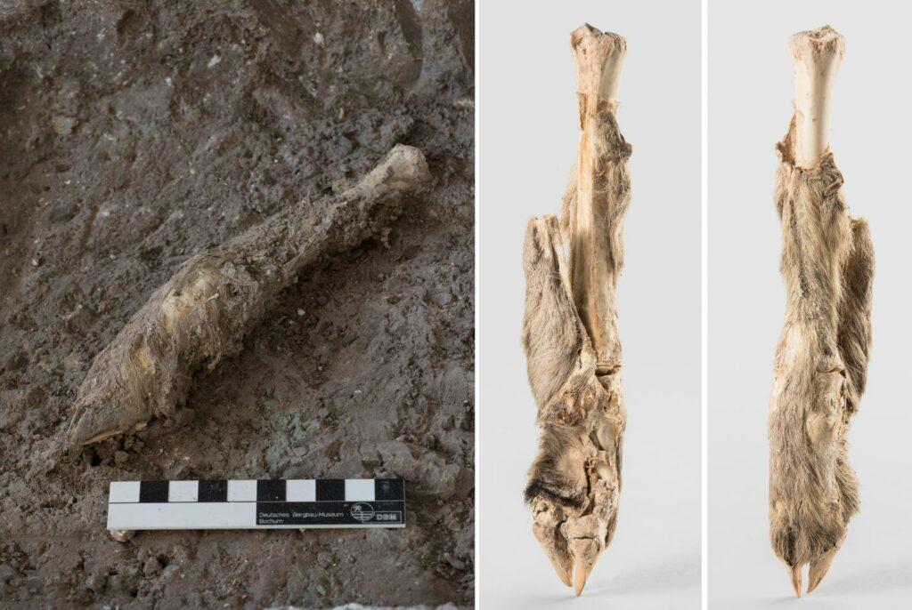 Das Bein der Schafsmumie ist noch fast vollständig mit dem Fell umgeben, das sich durch die Mumifizierung direkt auf dem Knochen befindet. Zudem hat sich der Huf des Tieres erhalten.